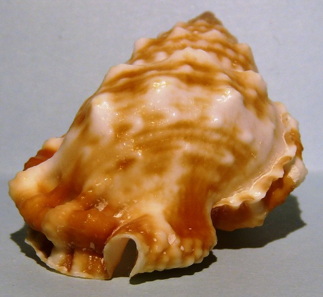 Bursa granularis (Röding, 1798)  12403487333_23ceea6e87_z