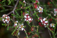 Baeckea brevifolia, Eurobodalla Regional Botanic Garden, Batemans Bay, NSW, 22/03/13
