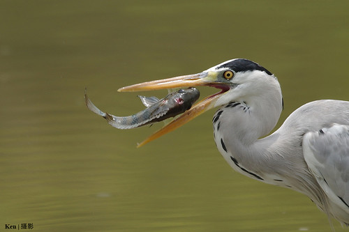 Grey Heron with fish in mouth