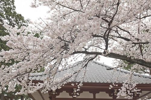 【写真】2014 桜 : 知恩寺/2020-11-13/IMGP5715