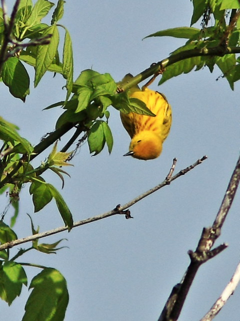 Yellow Warbler upside-down 2-20140507