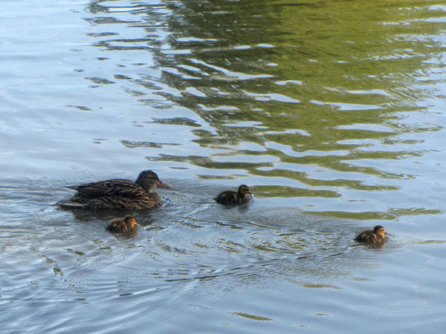 more ducklings!