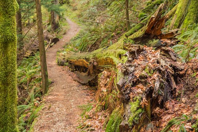 Large tree alongside trail