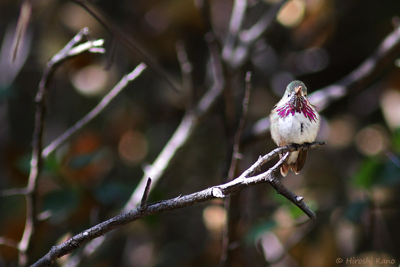 Calliope-Hummingbird-051014-5