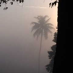 Palm tree in the mist