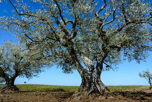 Fermoselle. Cultivo de olivos