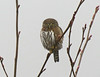 Northern Pygmy-Owl in fog and drizzle