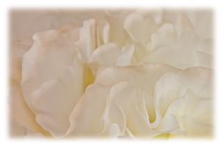 White Begonia Flower Petals Macro