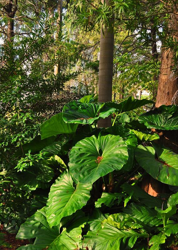 Philodendrron giganteum