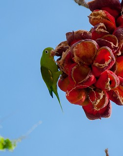 Periquito-de-encontro-amarelo/Yellow-chevroned parakeet (Brotogeris chiriri)