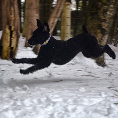 #Flying #standardpoodle 😄🐾. #dog #winter #forest
