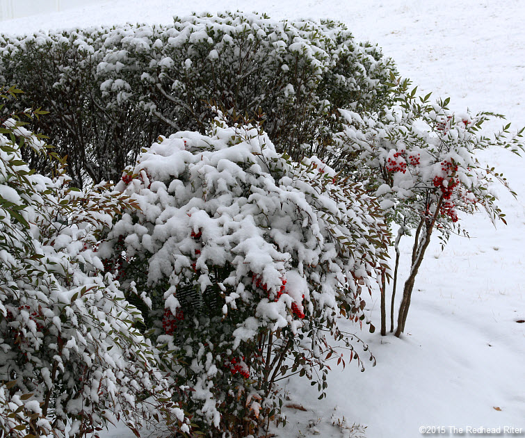 Red Berries On Bushes And A Light Snow In Richmond, Virginia