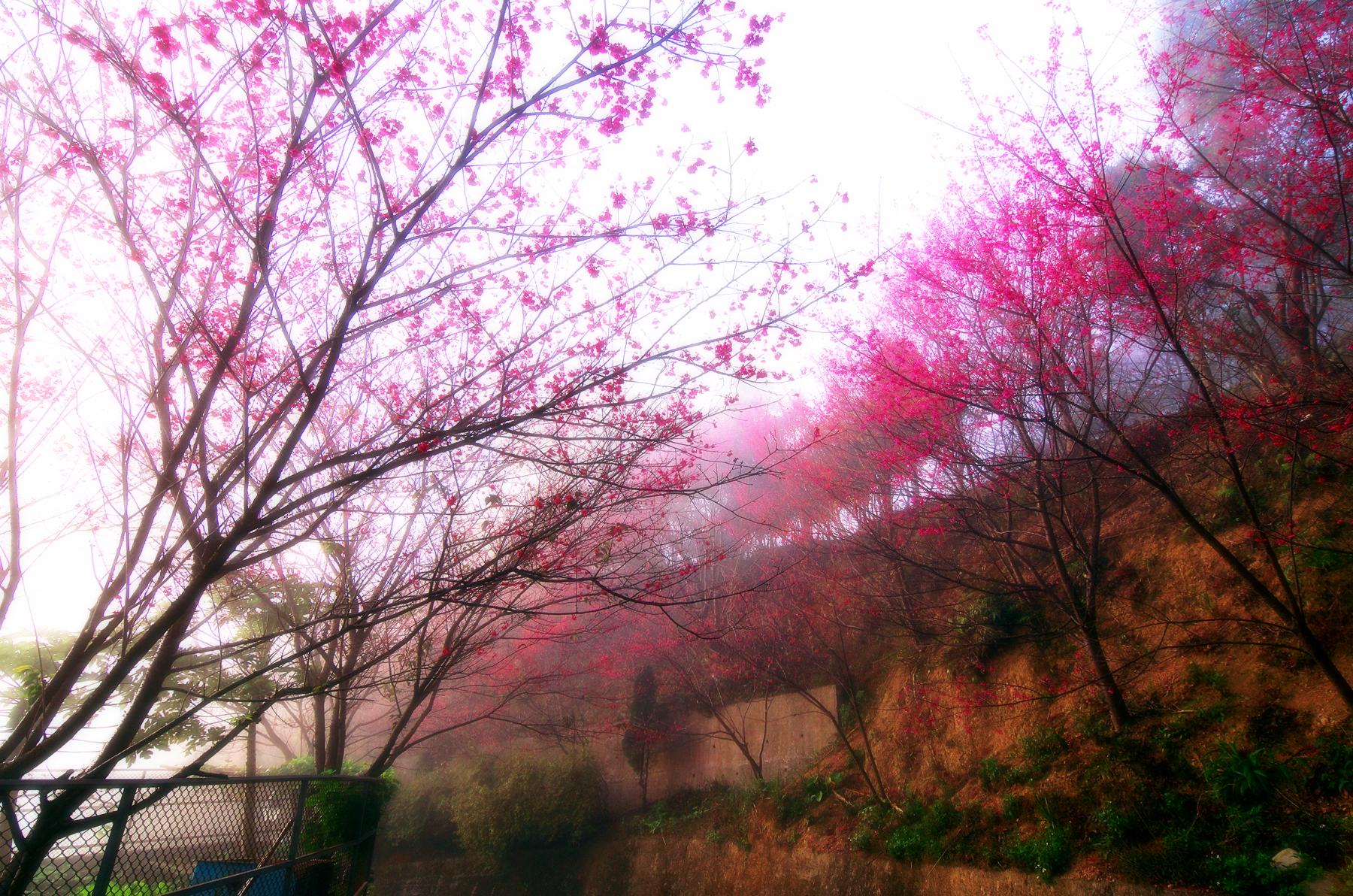 櫻花到處都有,跟誰去看才是重點