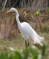 great egret IMG_1682b