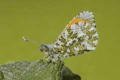 Holder3758 Orange Tip Butterfly (Male) @ Potteric Carr