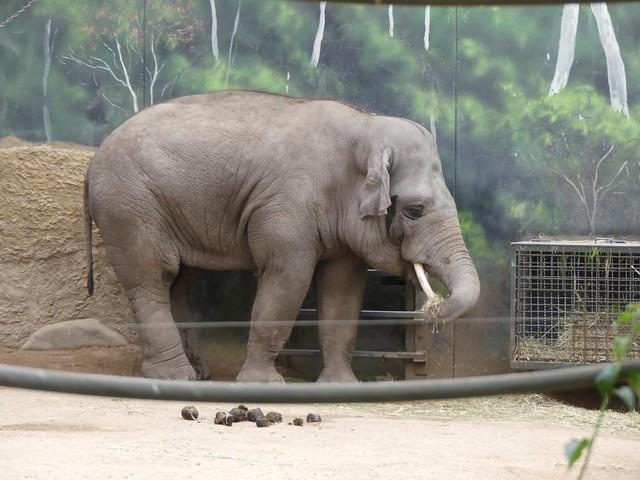 Asiatischer Elefant, Zoo Heidelberg