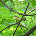 what  is it, please? Willow  Warbler,  Chiffchaff,  Garden  Warbler?
