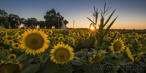 california sunset panorama sun flower church field yellow woodland corn mary wideangle chapel sunflower yolo waynetilcock