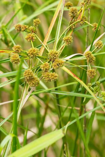 weed invasive monocots cyperaceae cubanbulrush cyperusblepharoleptos oxycaryumcubense scirpuscubensis