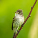 Willow flycatcher - Glenhurst Meadows, NJ