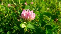 Pink clover // Розовый клевер