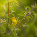 Yellow Warbler by TheGreenHeron