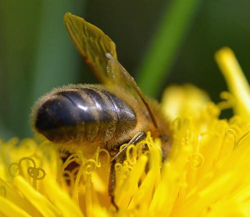 honeybee on dandelion {explored}