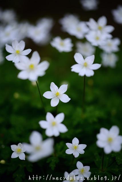 イチリンソウ [Anemone nikoensis]...