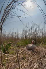 Greylag nesting at Hicking NWT