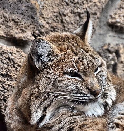 museum oregon cat bend bobcat lynxrufus highdesertmuseum nikond7000 nikkor18to200mmvrlens