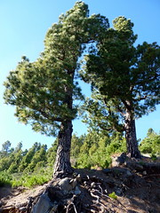La Palma - Pine Trees