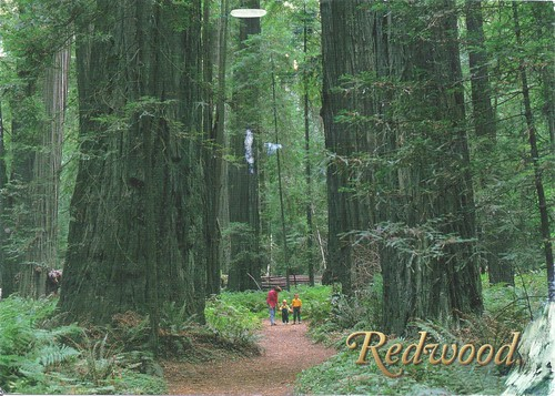 Redwood National Forest Postcard