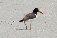 sandpiper(0.0), animal(1.0), charadriiformes(1.0), fauna(1.0), oystercatcher(1.0), shorebird(1.0), beak(1.0), bird(1.0), wildlife(1.0),