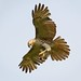 <p>Juvy Red Tailed Hawk<br /> Brooklyn<br /> New York<br /> <br /> I`m not quite sure what is going on here.  The hawk seems to have caught something, but it doesn`t resemble food, or anything organic even.  Silly bird.<br /> <br /> I heard a wood thrush, but I couldn`t locate it.  And that`s all the news I have today.</p>
