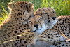 Three cuddly cheetahs in northern Botswana's Kwara Concession