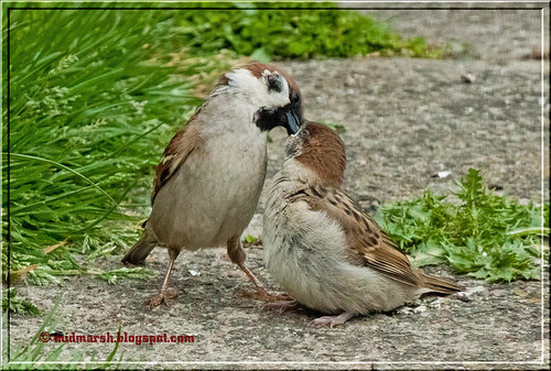 Tree Sparrow and Young