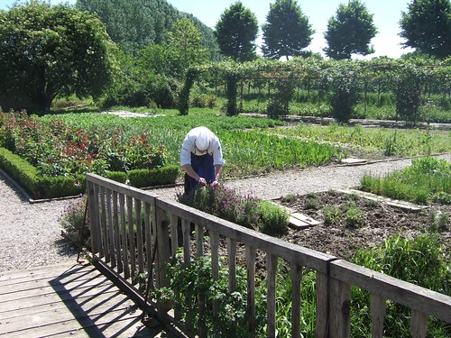 Gardner harvesting herbs