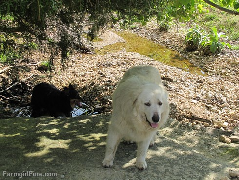 (30-20) Bear enjoys the last remnants of the drying up wet weather creek - FarmgirlFare.com