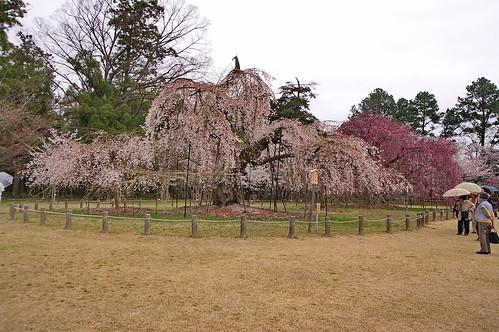 【写真】2013 桜 : 上賀茂神社/2020-09-09/IMGP9513