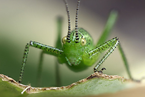 Speckled bush cricket nymph #4 by Lord V