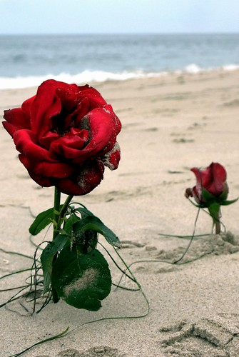 ocean roses beach rose surf pacific romance socal southerncalifornia stories lagunabeach romanticstory
