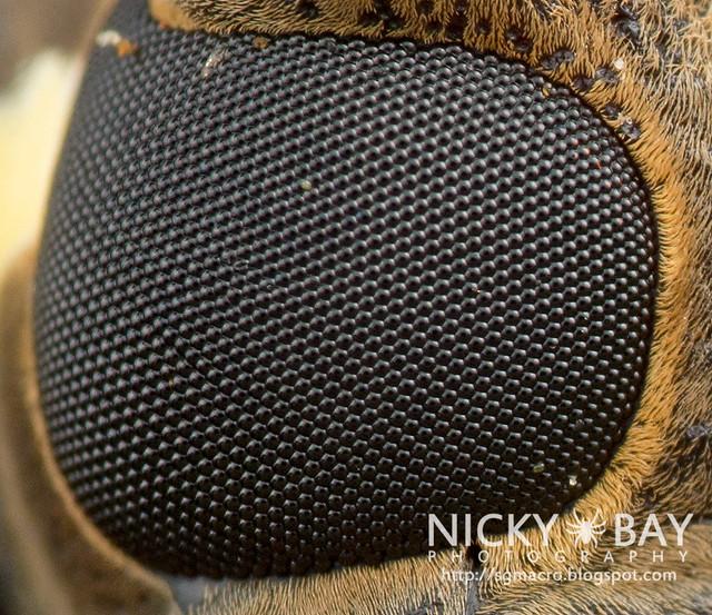 Close up of Mango Longhorn Beetle (Batocera rubus) - DSC_2093b