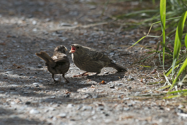 Raising Of Sparrow Pictures : Song Sparrow feeding cowbird young as its own  Flickr - Photo Sharing ...