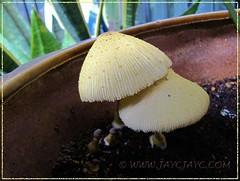 Leucocoprinus birnbaumii (Flowerpot parasol)