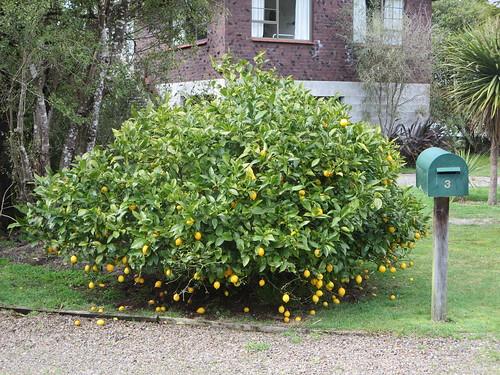 Lemon tree by brovienas