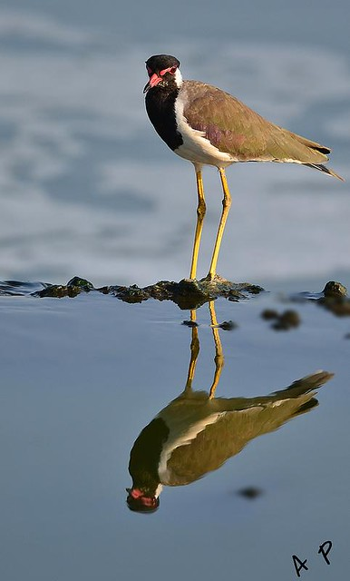 red waltted lapwing