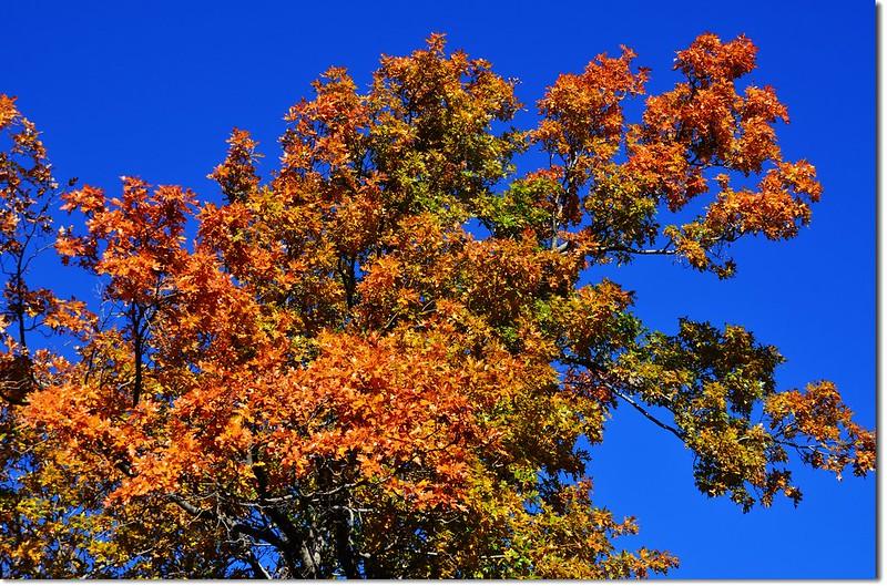 Oak(橡、櫟) in Fall, Chautauqua, Boulder 1
