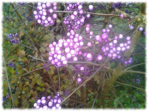 Herbstliche Pflanze mit lila Beeren.