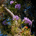 Cattleya Portia coerulea by epiphyte78