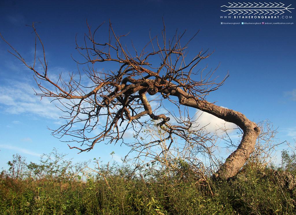 Madridejos lawis bantayan island cebu yolanda haiyan tree